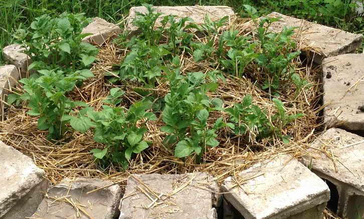 картофель под сорняком