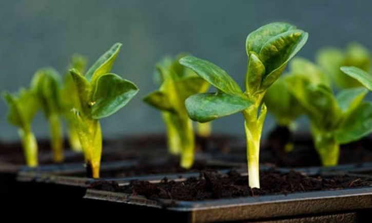 правильно выращивать рассаду
