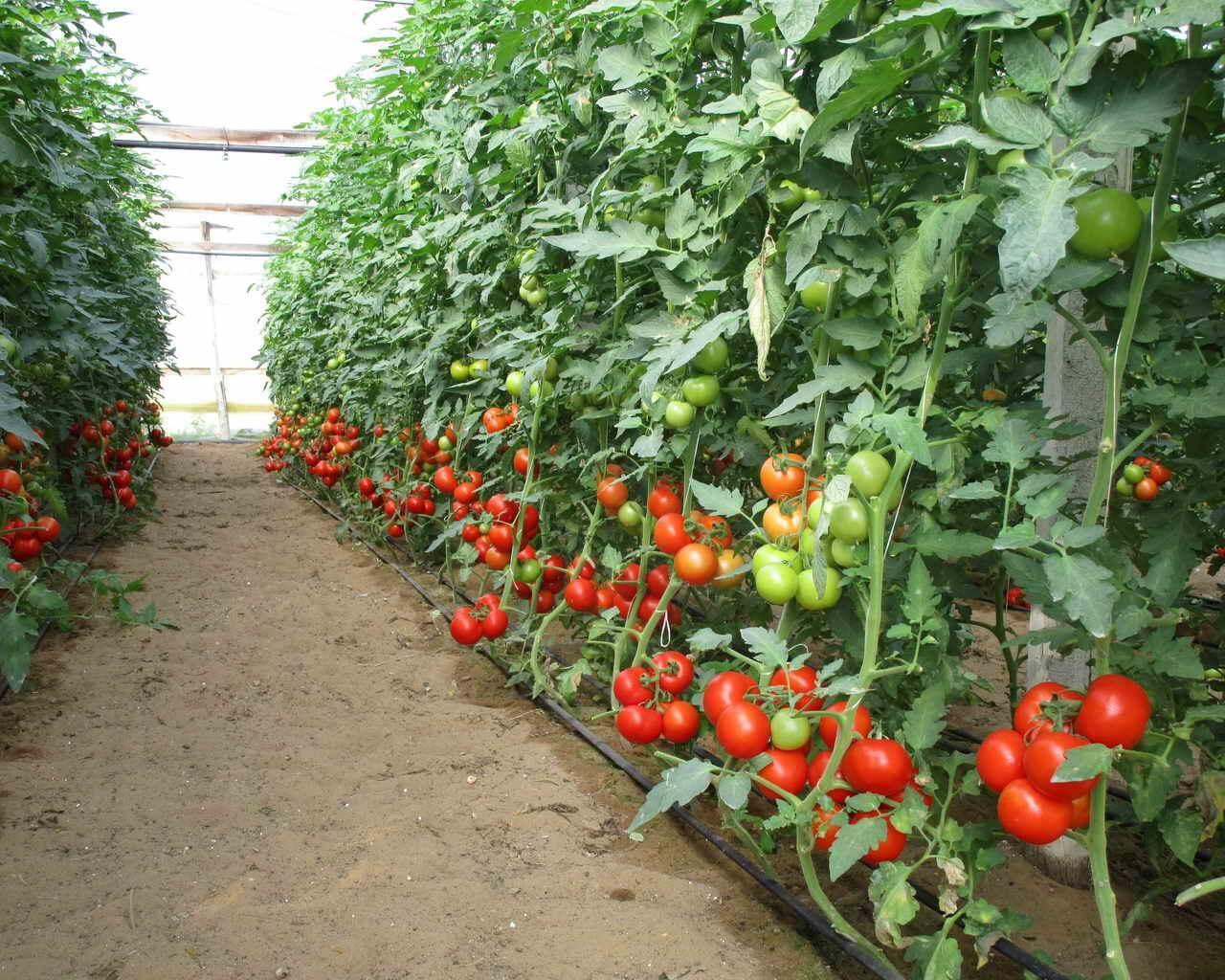 Проект по выращиванию помидоров 695