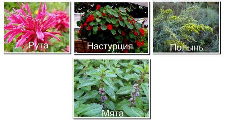 растения-репелленты