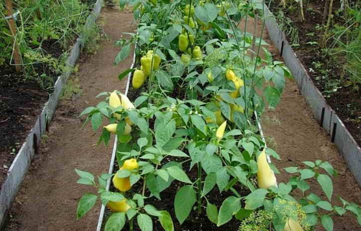 урожай на узких грядках