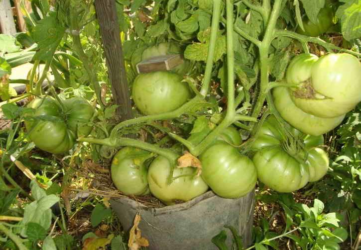 выращивание ранних томатов в ведре
