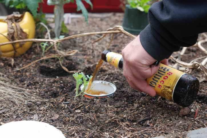бутылка пива и приманка для слизней