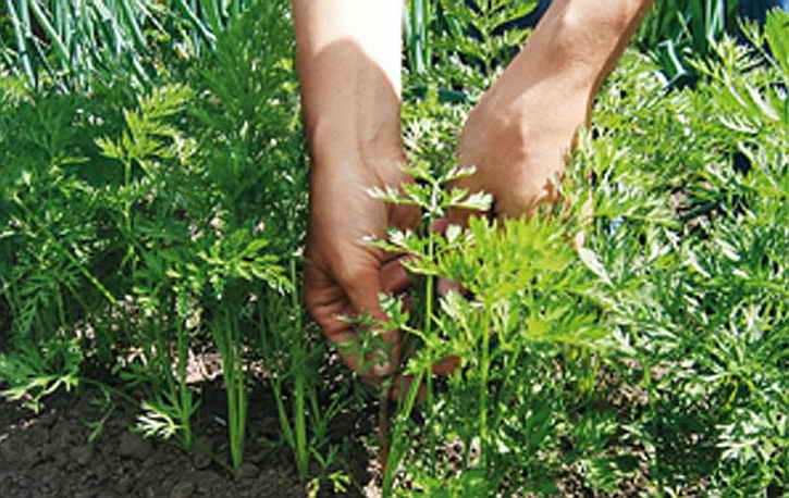 ботва моркови прореживание