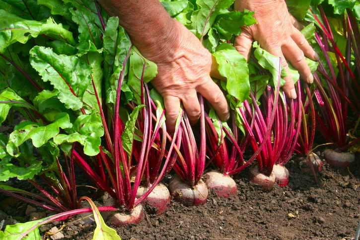 Выращивание моркови пошаговая агротехника