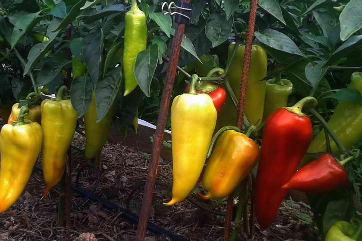 урожай болгарского перца