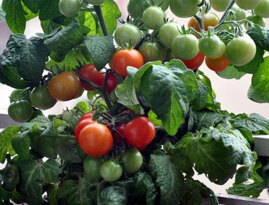 помидоры на подоконнике выращивание