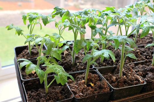 выращивание рассады помидор дома