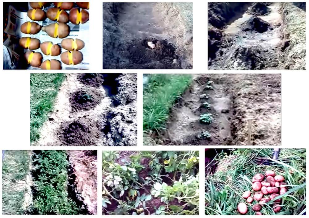 китайский способ посадки картошки
