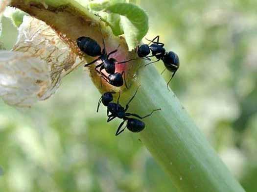 муравьи на ветках