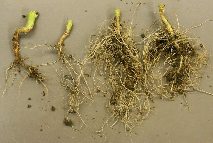 поврежденные и здоровые корни капусты