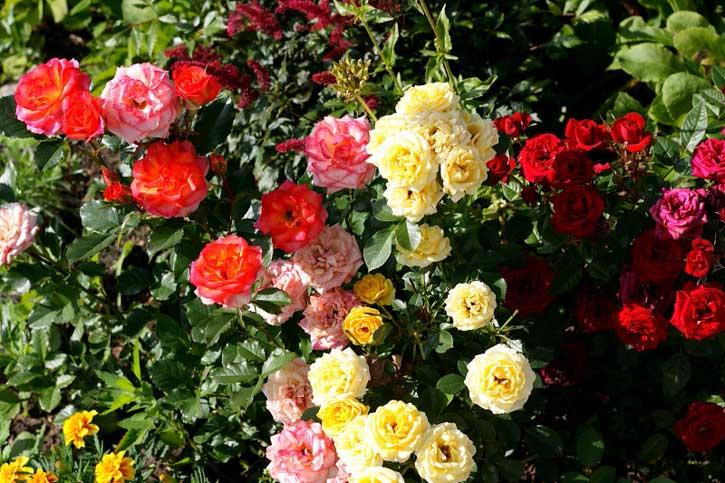 правильно обрезать розы летом
