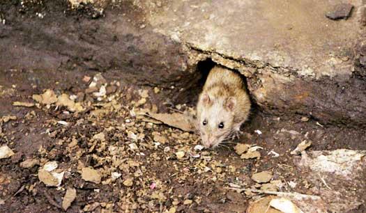 грызуны в подвале