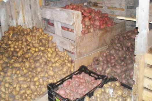 сохранить картофель до весны