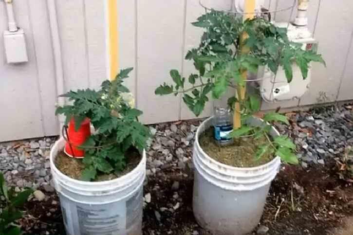 кусты томатов в ведрах