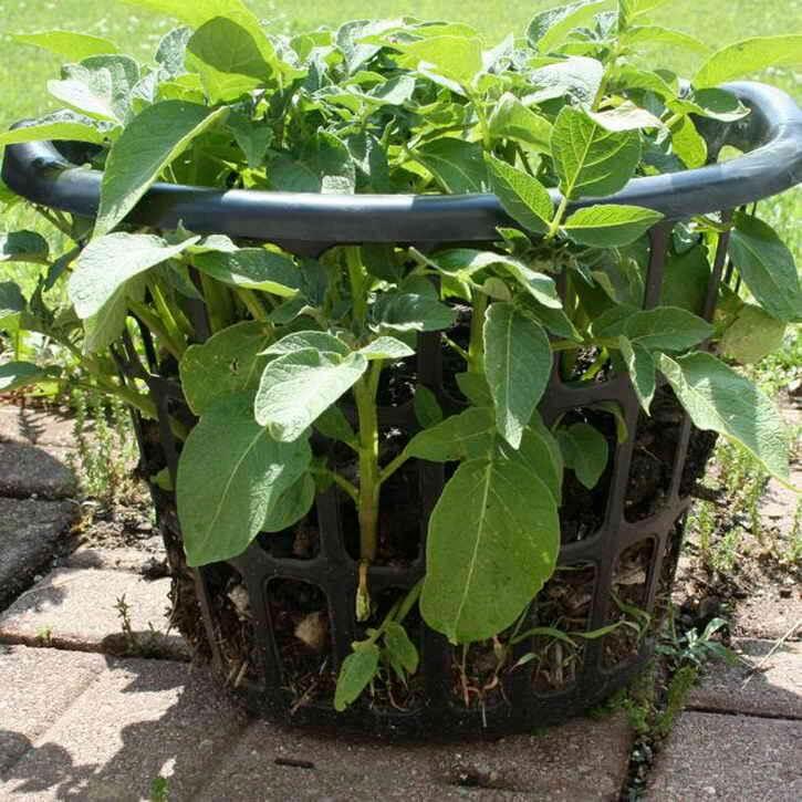 выращивание картофеля в корзине