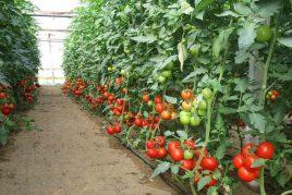 для подкормки томатов