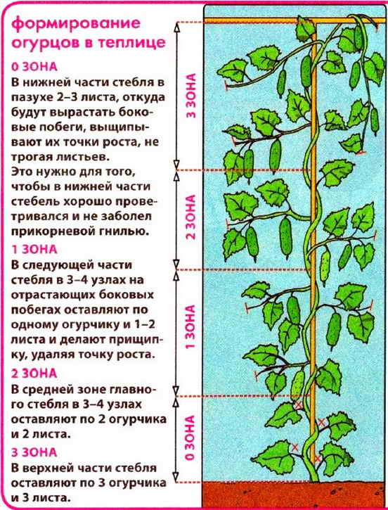 формирование стеблей огурцов