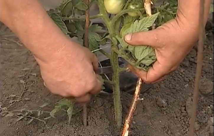 прорезание стебля томата