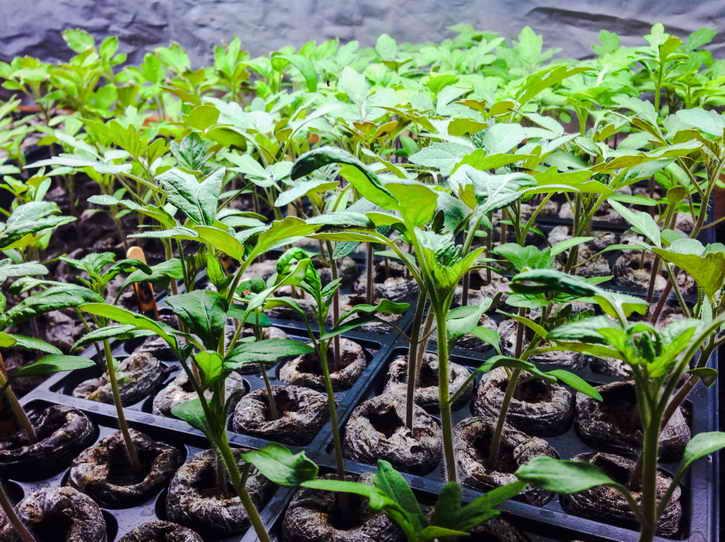 вырастить рассаду в домашних условиях