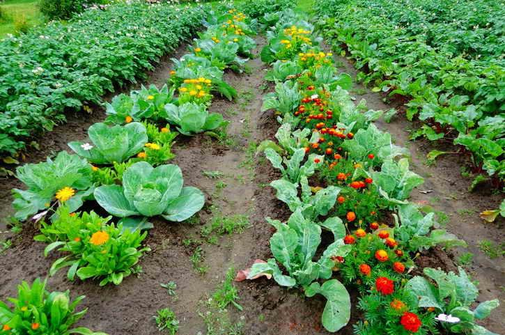 уплотненные посадки и совместимость овощей