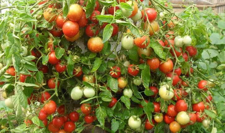 томаты на кусте