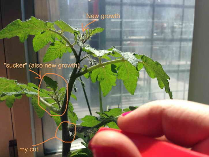 томаты пасынковать