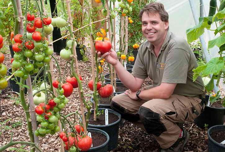 урожай томатов в ведрах