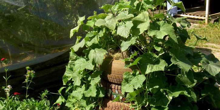выращивание огурцов в покрышках