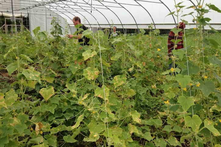 желтые листья огурцов в теплице
