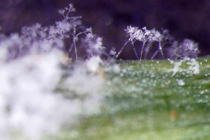 грибок мучнистой росы под микроскопом
