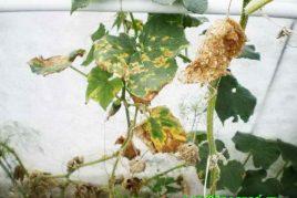 листья огурцов с признаками мучнистой ложной росы