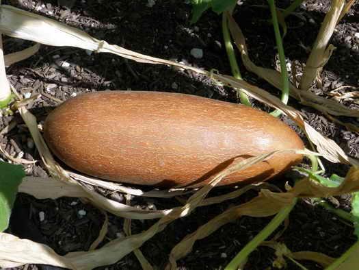 огурец для сбора семян