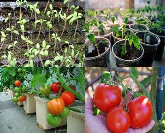 процесс выращивания томатов в домашних условиях