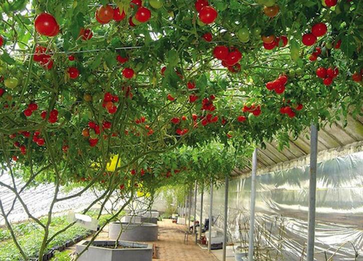 помидорное дерево в теплице