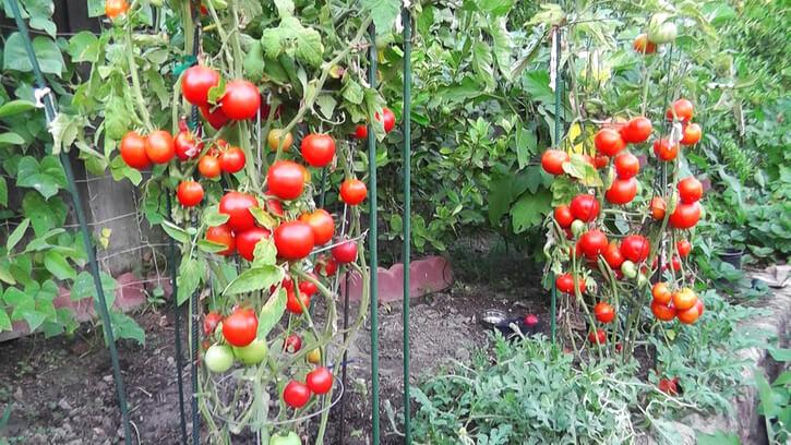выращивание помидорного дерева