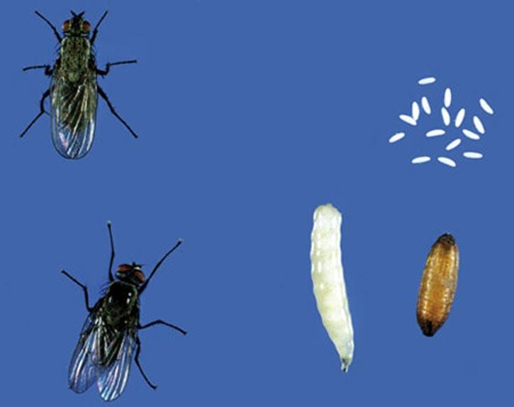 избавиться от капустной мухи