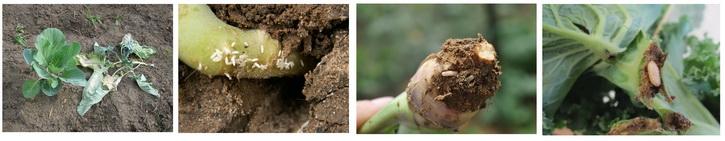 капустная муха и личинки