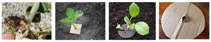 защита от личинок капустной мухи