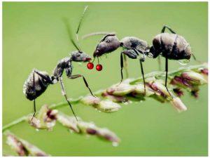 гуманная борьба с муравьями