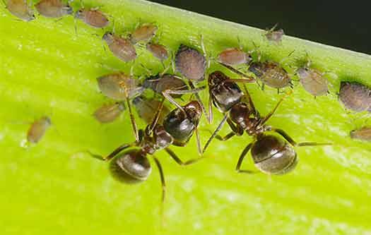 тля пища для муравьев