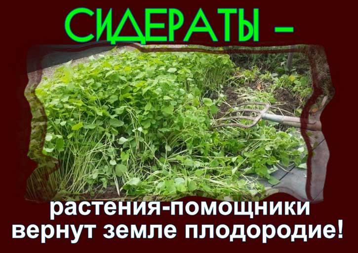растения помощники сидераты