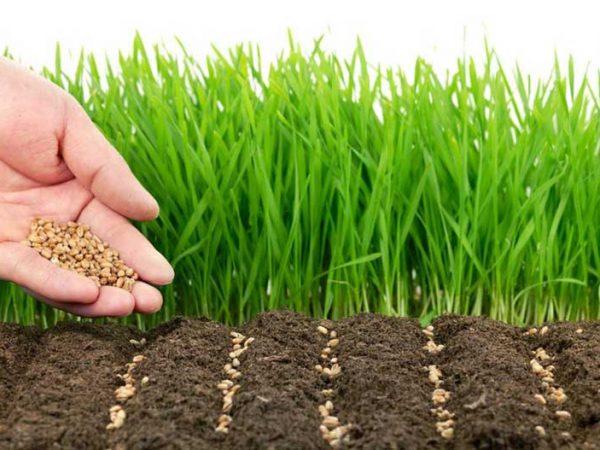 сидераты для огорода - плодородие земли