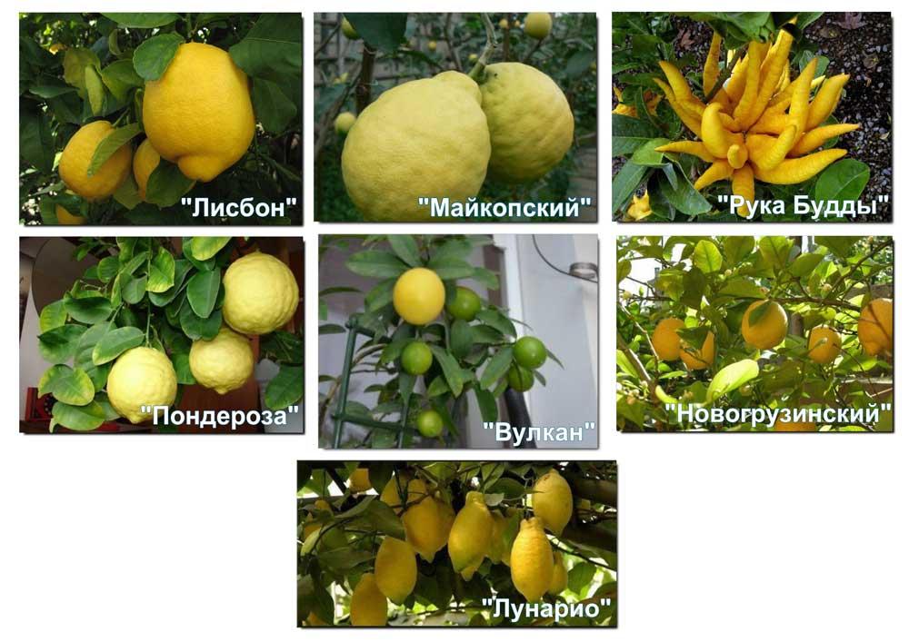 комнатные лимоны сорта