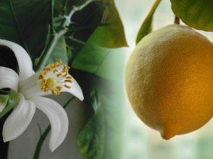 выращивание комнатных лимонов