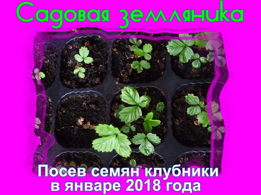 посев клубники на рассаду январь