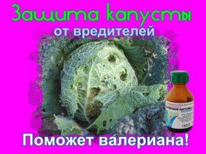 защита капусты от вредителей