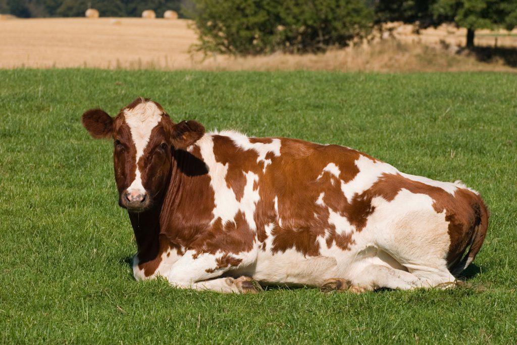 Айрширская порода коров — характеристика и описание