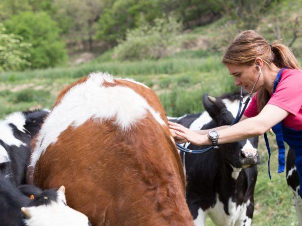 Бруцеллез у коров