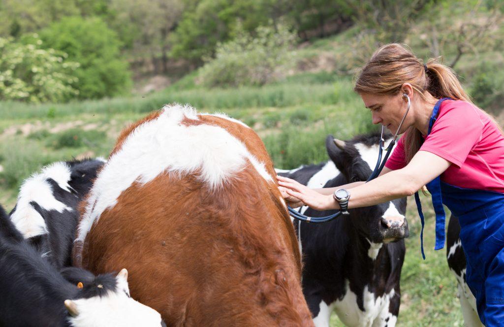 Бруцеллез у коров симптомы и лечение